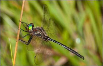a picture of Hine's emerald dragonfly
