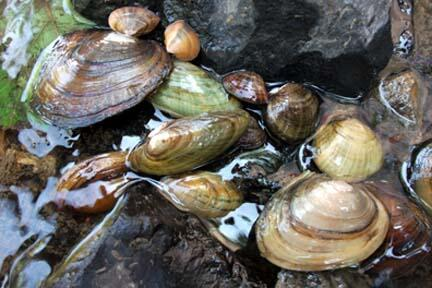 Freshwater Mussels in the water